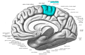 Paracentral lobule - Image: Sobo 1909 632 Paracentral lobule