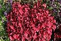Solenostemon scutellarioides Purple Emperor 1zz.jpg