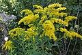 Solidago gigantea (Asteraceae) - (flowering), Elst (Gld), the Netherlands.jpg