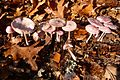 Some nice coloured Mycena pura (gewoon elfenschermpje) at Bronbeek Arnhem - panoramio.jpg