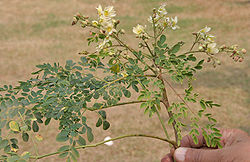 Sonjna (Moringa oleifera) leaves with flowers at Kolkata W IMG 2125.jpg