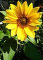 Sonnenblume - panoramio (2).jpg