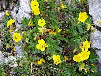 Helianthemum nummularium - Helianthemum nummularium subsp. glabrum