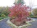 Sorbus fruticosa 2.jpg