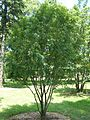 Sorbus hupehensis Morton 22-97-1.jpg
