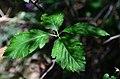 Sorbus latifolia (8252167018).jpg