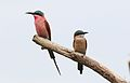 Southern carmine bee-eater, Merops nubicoides, Savuti marsh, Chobe National Park, Botswana (32462176305).jpg