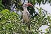 Southern red-billed hornbill (Tockus rufirostris) male.jpg