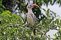 Southern red-billed hornbill (Tockus rufirostris) male.jpg