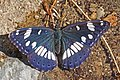 Southern white admiral (Limenitis reducta) Macedonia.jpg