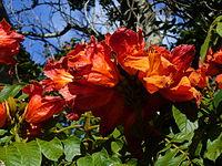 Spathodea campanulata flowers.jpg