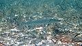 Sphyraena barracuda (great barracuda) (San Salvador Island, Bahamas) 5 (15997452879).jpg