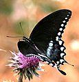 Spicebush Swallowtail (2637887760).jpg