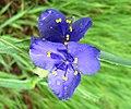 Spiderwort (6217532277).jpg