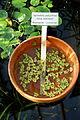 Spirodela polyrrhiza - Victoriahuset, Bergianska trädgården - Stockholm, Sweden - DSC00265.JPG