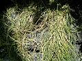 Sporobolus virginicus - United States Botanic Garden - DSC09547.JPG