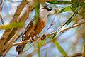 Sporophila palustris macho I.jpg