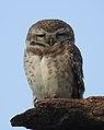 Spotted Owlet Athene brama by Dr. Raju Kasambe DSCN6082 (2).jpg