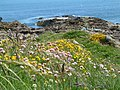 Spring flowers at Tarbat Ness - geograph.org.uk - 613186.jpg