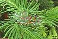 Spruce galls (NH266) (22584842216).jpg