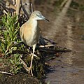 Squacco Heron, Ardeola ralloides at Marievale Nature Reserve, Gauteng, South Africa. (44482197384).jpg