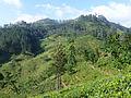 Sri Lanka-Province du Centre-Plantations de thé (3).jpg