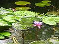 Sri Lanka - 061 - lotus and lily pads in the rain (1756449787).jpg