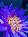 Srilanka's national flower.jpg