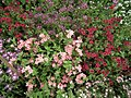 Star Phlox from Lalbagh flower show Aug 2013 8186.JPG