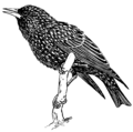 Starling (PSF).png
