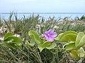 Starr-010209-0291-Ipomoea pes caprae subsp brasiliensis-flowering with akiaki grass-Kanaha Beach-Maui (24531173155).jpg