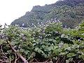Starr-021012-0006-Pueraria montana var lobata-with flowers-Honomanu Hana Hwy-Maui (24444579482).jpg