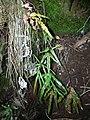 Starr-041211-1326-Pteris cretica-habit-Puu Nianiau-Maui (24353315199).jpg