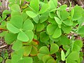Starr-050407-6293-Marsilea villosa-habit-Maui Nui Botanical Garden-Maui (24118210133).jpg