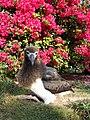 Starr-080531-4706-Bougainvillea spectabilis-habit with Laysan albatross chick-Housing area Sand Island-Midway Atoll (24282472604).jpg