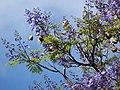 Starr-090513-7517-Jacaranda mimosifolia-flowering habit-King Kekaulike School Pukalani-Maui (24327796743).jpg