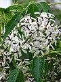 Starr-090518-7886-Melia azedarach-flowers-Omaopio-Maui (24837402962).jpg