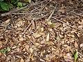Starr-090521-8342-Fraxinus uhdei-leaves on ground-Polipoli-Maui (24956318665).jpg
