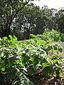 Starr-090707-2389-Physalis peruviana-in vegetable garden-Olinda-Maui (24342181763).jpg