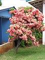 Starr-090713-2622-Mussaenda sp-flowering habit-Lahaina-Maui (24342593693).jpg
