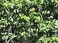 Starr-090720-3194-Hymenaea courbaril-flower buds and leaves-West Main Wailuku-Maui (24852085422).jpg