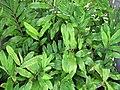 Starr-091021-8492-Zingiber zerumbet-habit-Wells Park Wailuku-Maui (24986728655).jpg