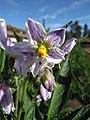 Starr-091023-8521-Solanum muricatum-flowers-Kula Experiment Station-Maui (24356185474).jpg