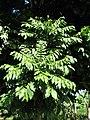 Starr-091104-0892-Castanospermum australe-leaves-Kahanu Gardens NTBG Kaeleku Hana-Maui (24987791085).jpg