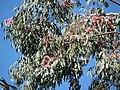 Starr-091115-1131-Eucalyptus sideroxylon-flowers and leaves-Olinda-Maui (24694421320).jpg