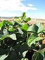 Starr-091222-0907-Ipomoea batatas-leaves-Lua Makika-Kahoolawe (24366003933).jpg