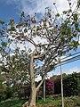 Starr-100114-1255-Erythrina sp-flowering habit-Enchanting Floral Gardens of Kula-Maui (24639206149).jpg