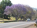 Starr-100504-5883-Jacaranda mimosifolia-flowering habit and road-Kula Hwy Kula-Maui (24919389272).jpg
