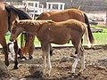 Starr-100901-8996-Fragaria x ananassa-habitat with baby horse-Vegetable stand Kula-Maui (24424152113).jpg