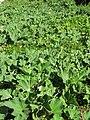 Starr-110209-0842-Lagenaria siceraria-habit-Resort Management Group Nursery Kihei-Maui (24779169850).jpg